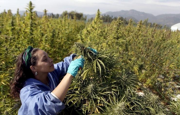 cannabis-farming